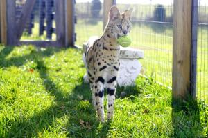 Serval ball credit goes to: http://pikdit.com/i/savannah-cat-playing-ball/
